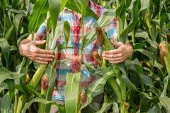 Młody atrakcyjny mężczyzna sprawdza kukurydzanych cobs w polu z brodą obraz stock