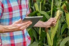 Młody atrakcyjny mężczyzna sprawdza kukurydzanych cobs w polu z brodą zdjęcie stock