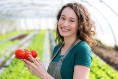 Młody atrakcyjny rolnik zbiera pomidory obraz stock