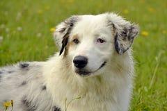 Młody australijski pasterski pies aussies Wesoło wrzawa szczeniaki Trenować psy Psia edukacja, kynologia, intensywny szkolenie po obrazy royalty free