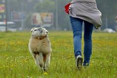 Młody australijski pasterski pies aussies Wesoło wrzawa szczeniaki Trenować psy Psia edukacja, kynologia, intensywny szkolenie po zdjęcia royalty free