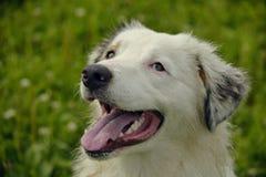 Młody australijski pasterski pies aussies Wesoło wrzawa szczeniaki Trenować psy Psia edukacja, kynologia, intensywny szkolenie po fotografia royalty free