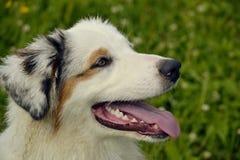 Młody australijski pasterski pies aussies Wesoło wrzawa szczeniaki Trenować psy Psia edukacja, kynologia, intensywny szkolenie po obraz stock