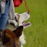 Młody australijski pasterski pies aussies Wesoło wrzawa szczeniaki Trenować psy Psia edukacja, kynologia, intensywny szkolenie po fotografia stock