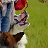 Młody australijski pasterski pies aussies Wesoło wrzawa szczeniaki Trenować psy Psia edukacja, kynologia, intensywny szkolenie po zdjęcia stock