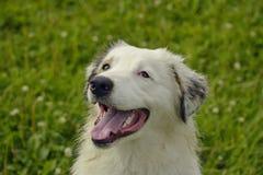 Młody australijski pasterski pies aussies Wesoło wrzawa szczeniaki Trenować psy Psia edukacja, kynologia, intensywny szkolenie po zdjęcie stock