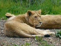 Młody Azjatycki lew, Asiatic lwa lisiątko/ Kłamać na ziemi odpoczywać zdjęcie royalty free