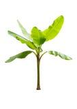 Młody bananowy drzewo odizolowywający na białym tle obrazy royalty free