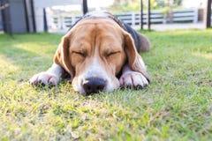 Młody beagle pies kłaść na ogródzie Zdjęcie Royalty Free