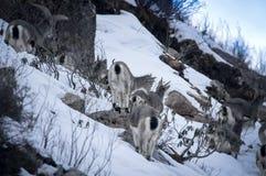 Młody Bharal Pseudois nayaur także znać jako Himalajscy Błękitni cakle zdjęcie royalty free
