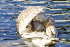 Młody biały łabędź czyści skrzydła Zdjęcia Royalty Free