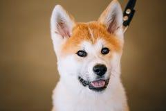 Młody Biały I Czerwony Akita Inu pies, szczeniak Obrazy Stock