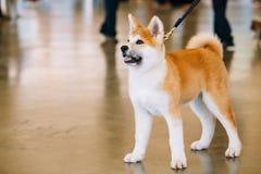 Młody Biały I Czerwony Akita Inu pies, szczeniak Zdjęcia Royalty Free