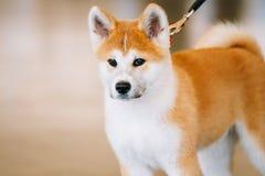 Młody Biały I Czerwony Akita Inu pies, szczeniak Obrazy Royalty Free