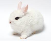 młody biały królik na bielu fotografia royalty free