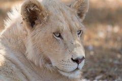 Młody biały lew Fotografia Stock