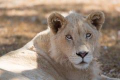 Młody biały lew Zdjęcie Royalty Free