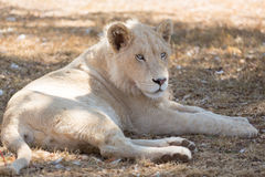 Młody biały lew Fotografia Royalty Free