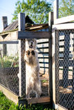 Młody biały Maremma Sheepdog yipping Obrazy Stock