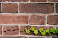 Młody bluszcz na ściana z cegieł Zdjęcie Royalty Free