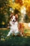 Młody Border collie psi bawić się z liśćmi w jesieni Zdjęcia Royalty Free