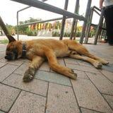 Młody brązu pies śpi na bruku zdjęcie royalty free