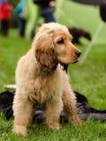 Młody brązu pies dalej przy psim przedstawieniem Zdjęcia Stock