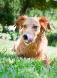 Młody brązu pies po skąpania Zdjęcia Royalty Free