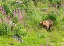 Młody brown niedźwiedź Zdjęcia Royalty Free