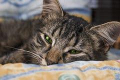 Młody brown pasiasty kot z zielonymi oczami jest kłamający i pozujący kamera Piękny mały kot patrzeje kamera przed spać Sle Obrazy Stock