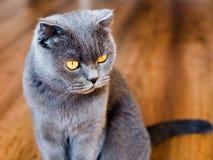Młody Brytyjski kot na podłodze, tomcat obsiadanie na parkietowej podłodze obraz royalty free