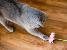 Młody Brytyjski kot na podłodze, tomcat obsiadanie z kwiatu gerber fotografia stock