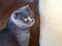 Młody Brytyjski kot na podłodze, tomcat obsiadanie z sratching meble fotografia royalty free