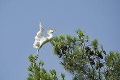 Młody bydła Egret uczenie Latać obraz royalty free