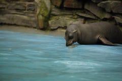 Młody California denny lew na krawędzi pływackiego basenu zdjęcia stock