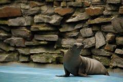Młody California denny lew siedzi na krawędzi pływackiego basenu zdjęcia stock