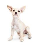 Młody chihuahua Mieszam trakenu szczeniaka Przyglądający Up Obraz Royalty Free