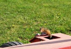 Młody chipmunk ogląda ja z wierzchu siana bine fotografia stock