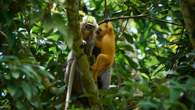 Młody ciemniusieńki liść małpy Trachypithecus obscurus na drzewie przy Kaeng Krachan parkiem narodowym, Tajlandia obrazy stock