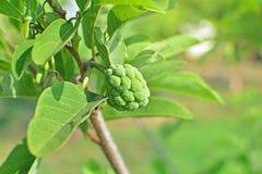 Młody custard jabłka dorośnięcie na drzewie Fotografia Stock