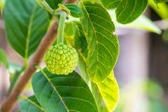 Młody custard jabłko Zdjęcie Stock