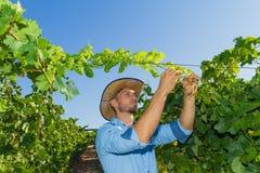Młody człowiek, winogradu hodowca w winnicy, Fotografia Royalty Free