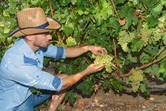 Młody człowiek, winogradu hodowca w winnicy, Obraz Royalty Free