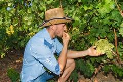 Młody człowiek, winogradu hodowca w winnicy, Zdjęcia Royalty Free