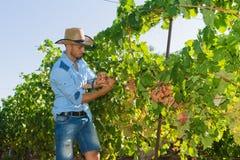 Młody człowiek, winogradu hodowca w winnicy, Zdjęcie Royalty Free