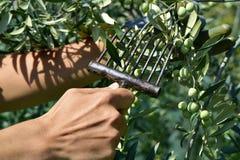 Młody człowiek zbiera oliwki w Hiszpania Fotografia Royalty Free