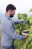 Młody Człowiek Zbiera winogrono winnicę Fotografia Royalty Free