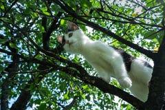Młody czarny i biały kot na czereśniowej gałąź wśród zielonego ulistnienia skacz gotowy Dolny widok Zdjęcia Stock