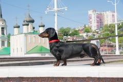 Młody czarny i dębny jamnik przy admiralicja kwadratem, Voronezh, Rosja Zdjęcie Stock