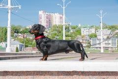 Młody czarny i dębny jamnik przy admiralicja kwadratem, Voronezh, Rosja Obraz Stock